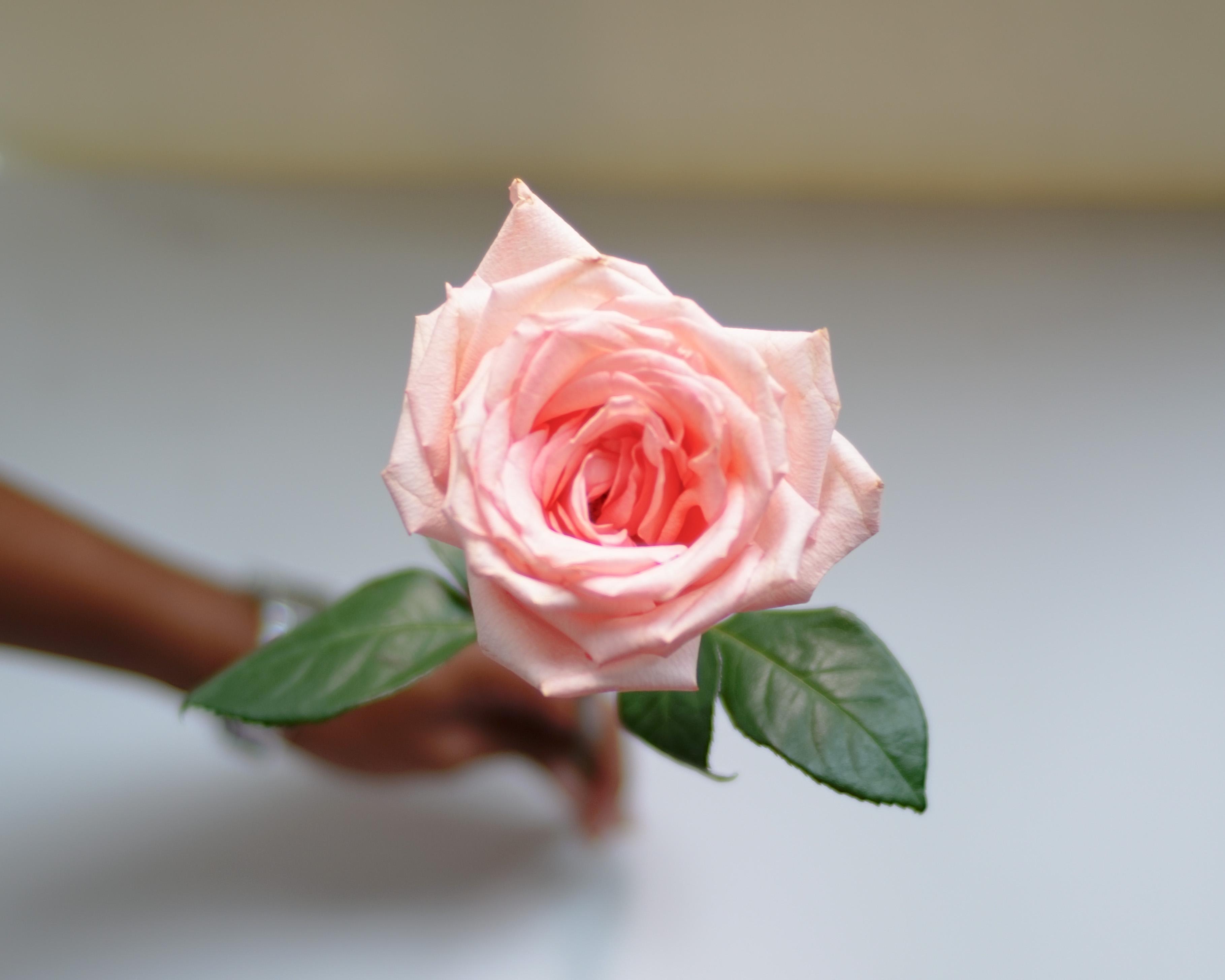 rosa-sin-espinas