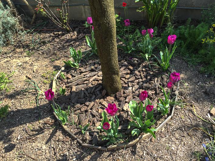 cómo plantar tulipanes? guía básica - floritismo