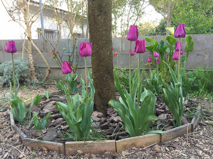 Como plantar tulipanes