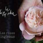 rosas inglesas 6