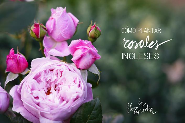 plantar rosal inglés