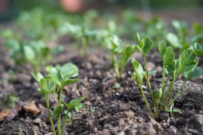 Plantar ranúnculos