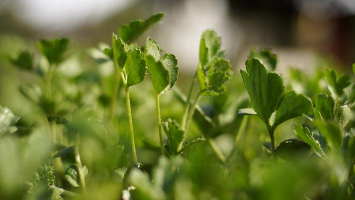 plantar ranunculos
