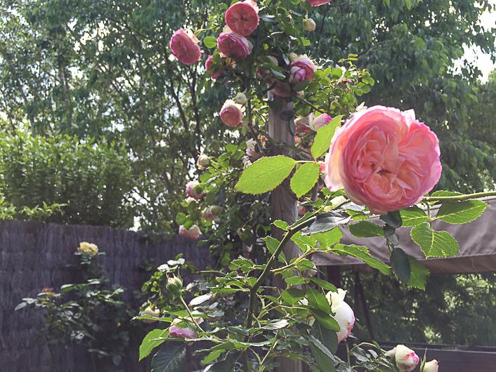 Rosal Ingles
