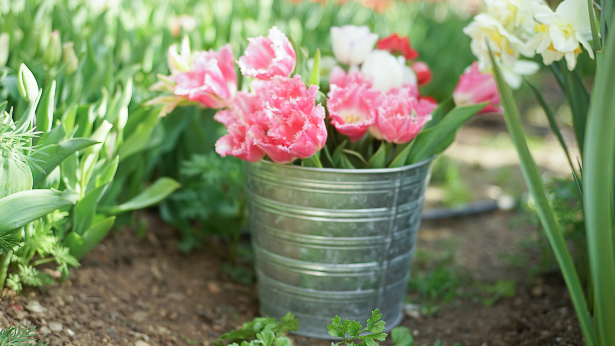 tulipan deshilachados-1-2