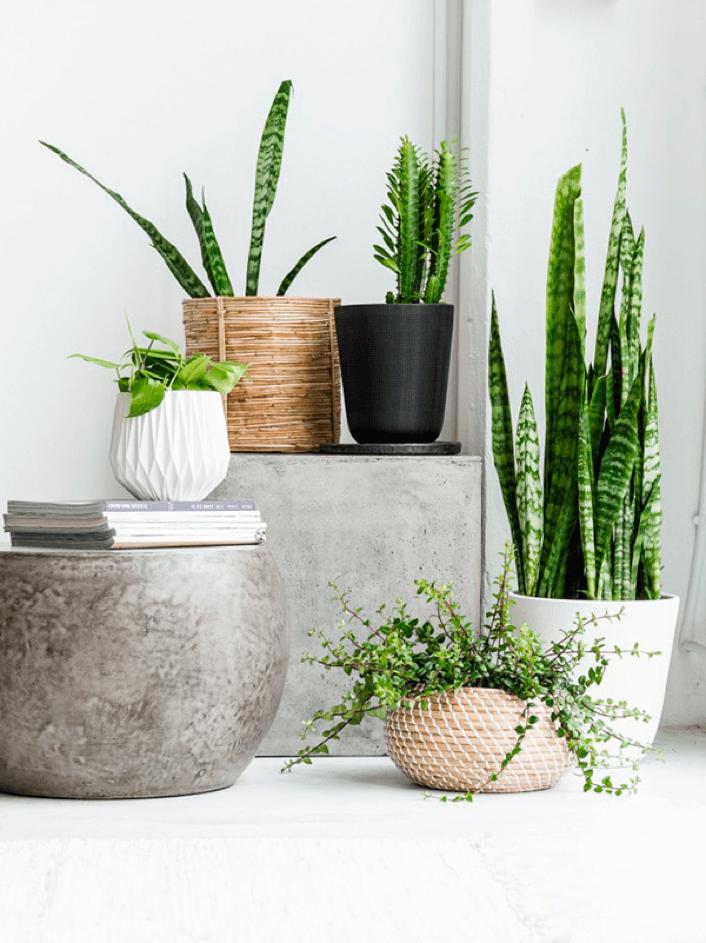 Pon una sansevieria en tu vida floritismo for Plantas de interior lengua de gato