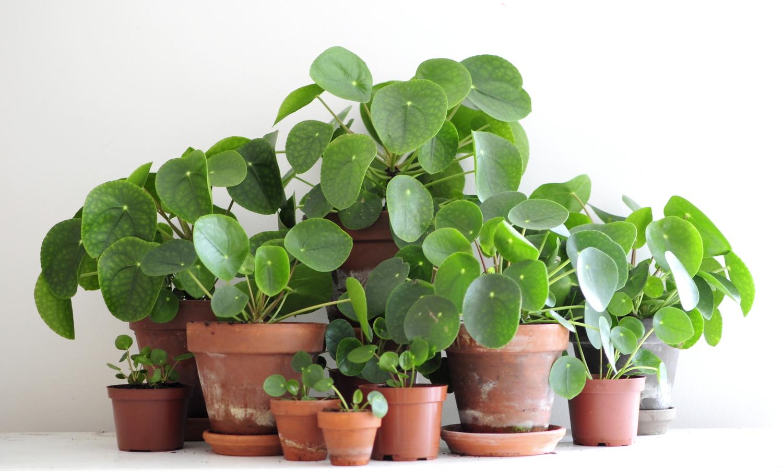 Pilea peperomioides o la delicadeza misma floritismo for Plante pilea