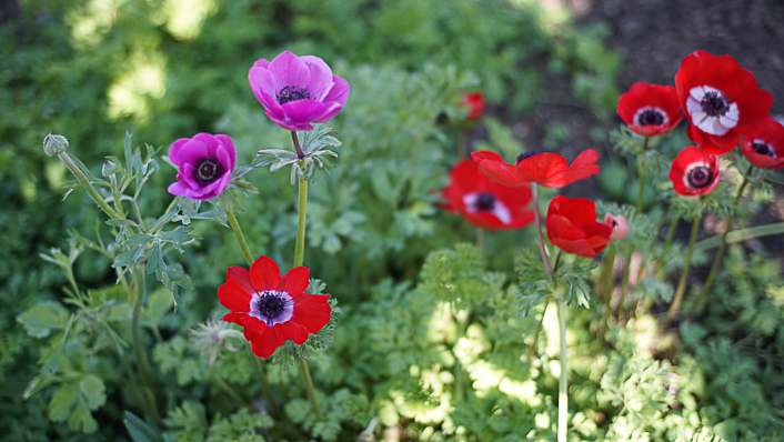 anemonas-de-caen-mix