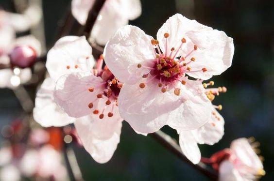 floración de los frutales. ciruelo