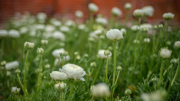 ranunculos-granja-de-flores