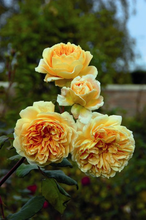 Crown Princess Margareta™ (Auswinter) David Austin®