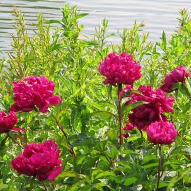 Peonía Karl Rosenfield -Floritismo