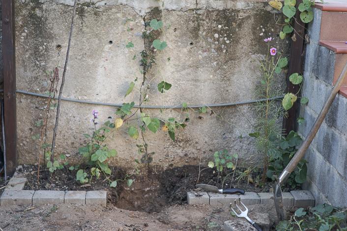 Como plantar peonias