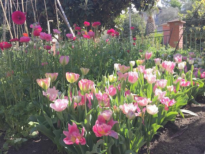 granja de flores con tulipanes y ranunculos