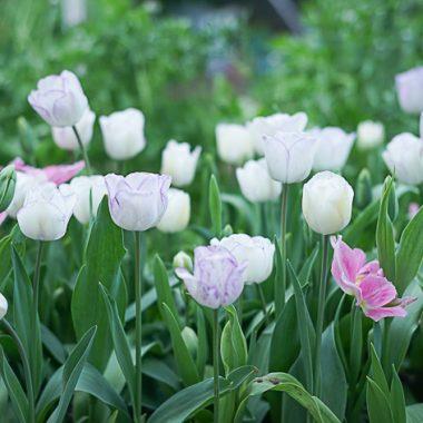 Bulbos de Tulipán Bicolor