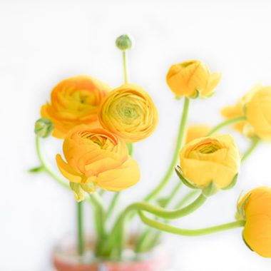 ranúnculo-amarillo