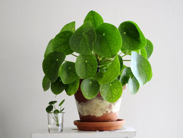 Pilea ideal para tus plantas para el baño