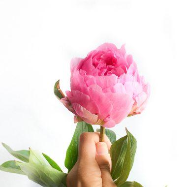 peonia Sarah Bernhardt - Floritismo