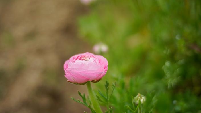 ranunculo-granja-de-flores