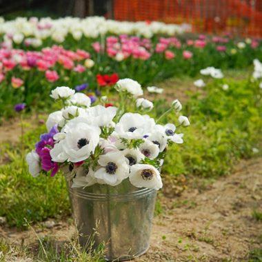 anemonas-granja-de-flores