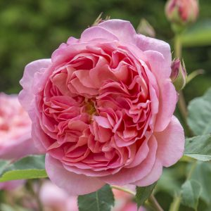 Rosa 'Boscobel' David Austin