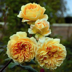 Crown Princess Margareta™ (Auswinter) David Austin®