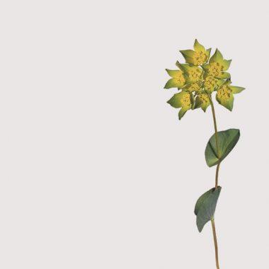 Bupleurum Floritismo