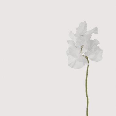 guisante blanco floritismo