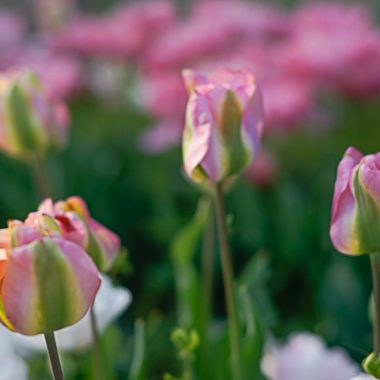 tulipan bicolor