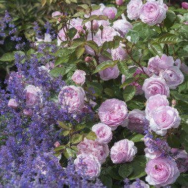 Olivia Rose Austin™ (Ausmixture). David Austin® English Roses.