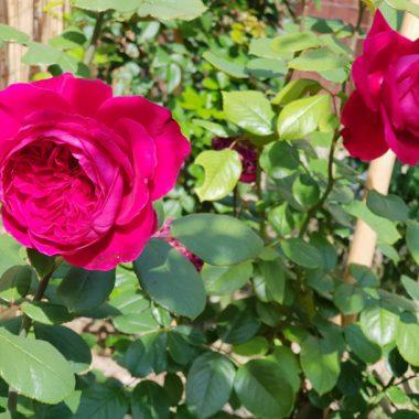 rosal ingles Alain Souchon Meilland