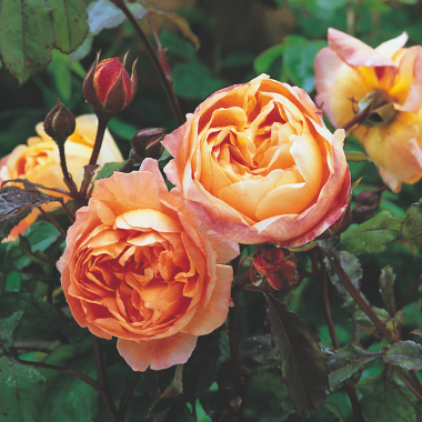 Lady Emma Hamilton (Ausbrother) David Austin Roses®