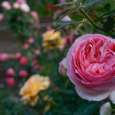 rosa ingles Pierre de Ronsard1