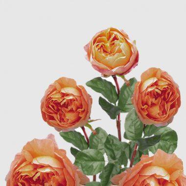 Rosal Ingles Lady Emma Hamilton - David Austin - Floritismo