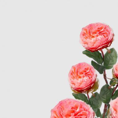 Rosal de Jardin - Meilland - Pierre de Ronsard - Floritismo
