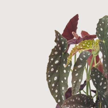 Begonia Maculata Floritismo
