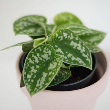 scindapsus pictus-2