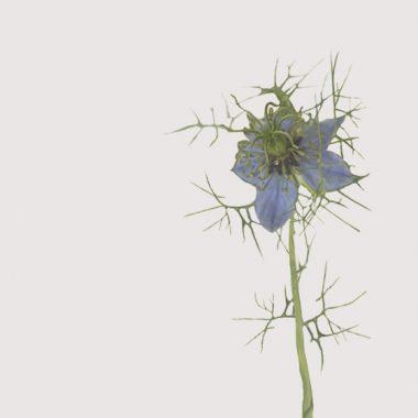 Nigella Damascena Azul Floritismo