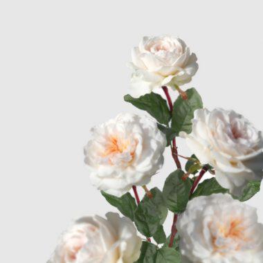 Rosa de Jardin Meilland - Sabrina - Floritismo