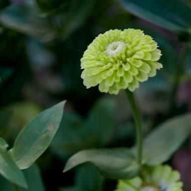 Zinnia Verde - Floritismo