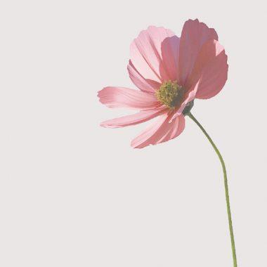 cosmos floritismo