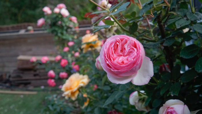rosal ingles Pierre de Ronsard