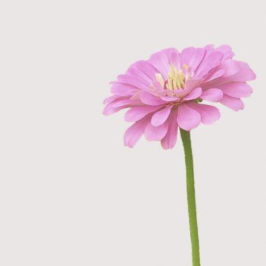 zinnia rosa floritismo