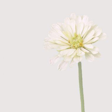 Zinnia Blanca Floritismo