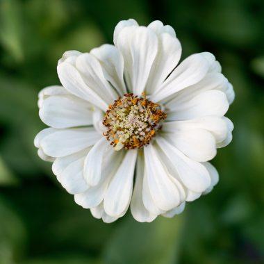 Zinnia Blanca - Floritismo