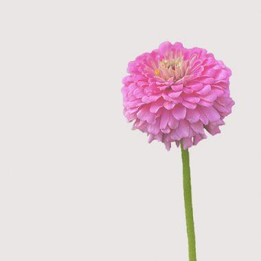 zinnia fucsia floritismo