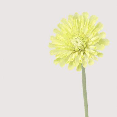 Zinnia Verde Floritismo