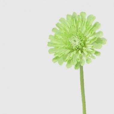 Zinnia Verde - Floritimo