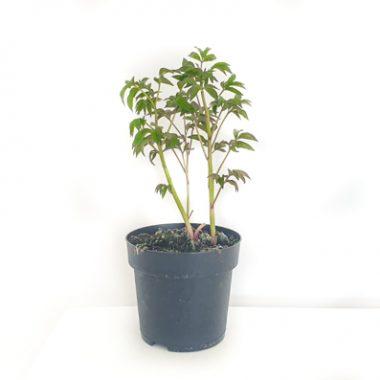 peonia en maceta-3