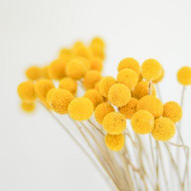 Craspedia preservada floritismo